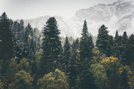 tree  forest: Coniferous Forest Landscape mountains on background Travel serene scenery moody weather autumn season