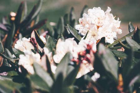 fleurs de rhododendron blanc beau printemps croissance saisonnière dans les montagnes vue rapprochée