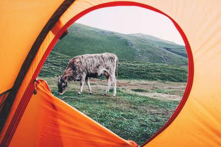 View from tent camping ingang grazen Koe outdoor Reizen Lifestyle concept van avontuurlijke vakanties openlucht