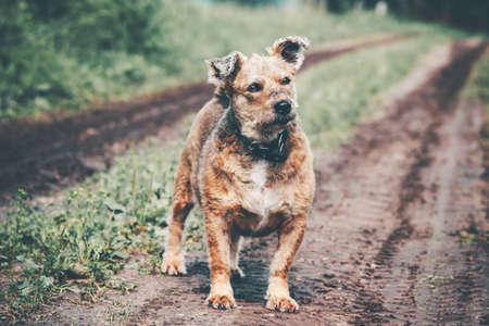 Funny Dog terrier homeless walking alone on rural road Stockfoto