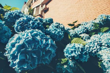 Hydrangea Bloemen tuin bloeien blauwe kleur Lente Zomer seizoenen natuur Stockfoto