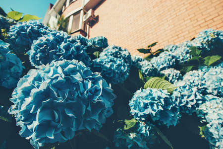 Hydrangea Fleurs jardin fleuri bleu saisons Printemps Eté nature