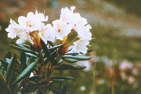 Rhododendrons flowers white color beautiful spring seasonal growing in mountains close up view