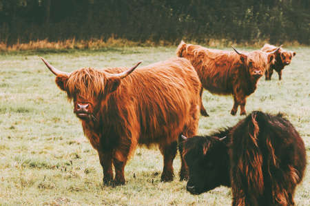 Highland Cattle Cow group farm animals long hair and horns classic Scottish breed
