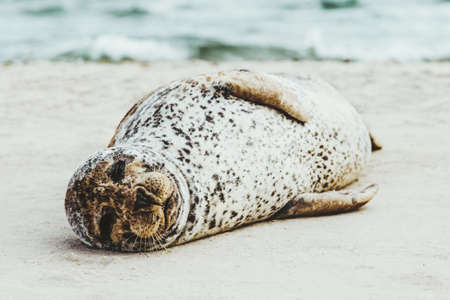 Harbor Seal funny animal sleeping on sandy beach in Denmark phoca vitulina ecology protection concept arctic sealife Imagens - 93715644