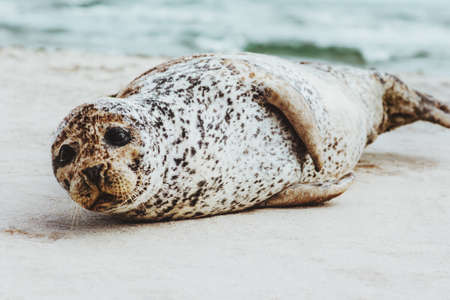 Verbindings het grappige dierlijke ontspannen op zandig strand in phoca vitulina het concept noordpoolsealife van de ecologiebescherming