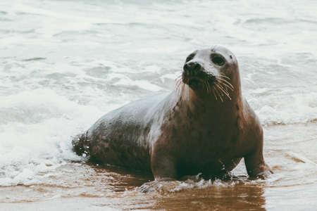 Zegel grappig dier op de kust van Grenen in Denemarken