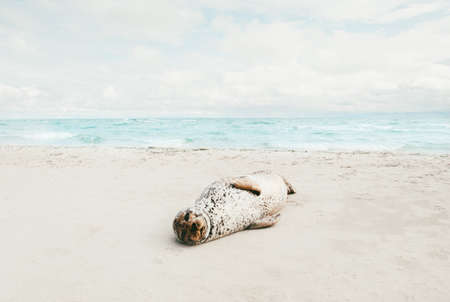 Seal animal relaxing on sandy beach sunbathing in Denmark climate change ecology protection concept arctic sealife Imagens