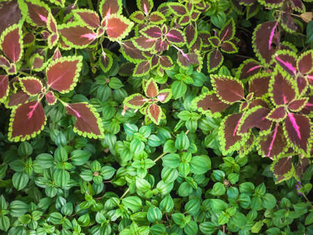 brilliantly: Coleus plants, Painted nettle or Flame nettle, a brilliantly coloured leaves in jardiniere.