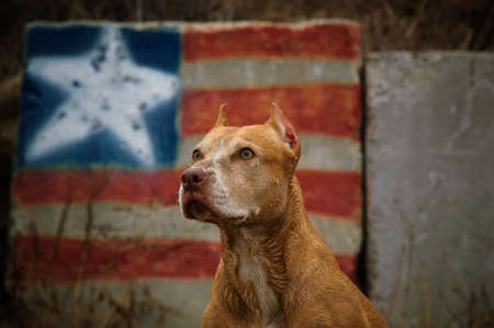American Pit Bull Terrier against graffiti American flag