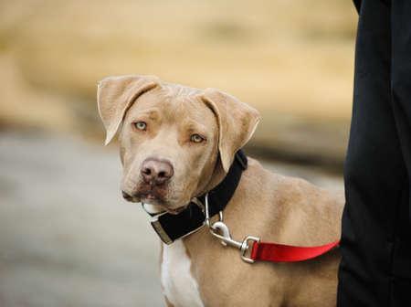 pit bull: American Pit Bull Terrier on leash