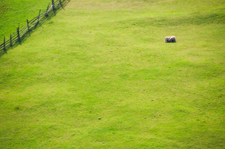 Open grass fields with a fence and three sheep photo