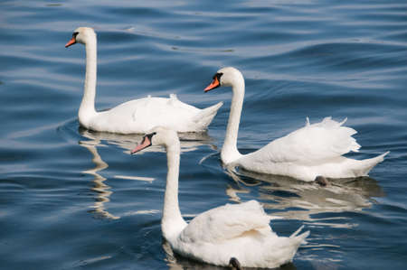 birds lake: Beautiful white swans on a lake