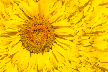 A pattern of bright yellow sunflowers on a white isolated background, an unripened sunflower with a yellow center, a background of a yellow flower Stock Photo