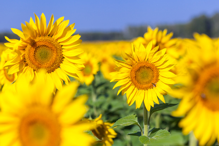 flat earth: Field of their bright yellow young sunflowers in a summer sunny day, in the background a green forest and clear blue sky bees of clouds, summer nature, field of flowers Stock Photo