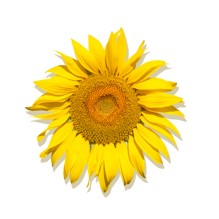 One Brightly yellow sunflower on a white isolated background, unripened sunflower with yellow center