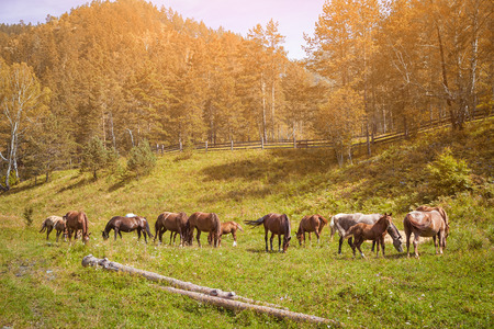 A herd of beautiful brown horses and a few foals goose on a green meadow and eat grass on a summer day in the mountains, against the background of a green coniferous forest, the sun shines brightly