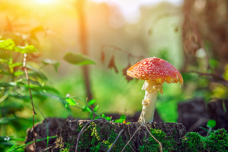 A beautiful large mushroom with a red hat and white foot stands on a hemp covered with moss in a green forest on a summer day