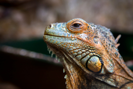 Close-up of a young beautiful iguana with big black eyes licking and posing