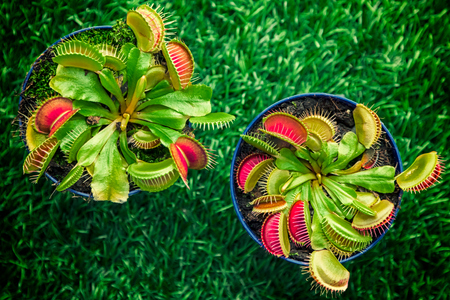 Close-up of a young bright green Dionaea muscipula in a pot on a green artificial grass, top view Archivio Fotografico