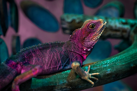 Purple beautiful lizard or Lacertilia  with big black eyes sitting on a on a wooden branch