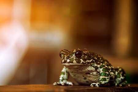 Close-up of a beautiful green spotted frog or Pelophylax ridibundus  with large black eyes sitting on a wooden shelf