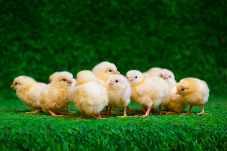 Close-up of a lot of small yellow chicks  or Gallus gallus  with black eyes on the artificial grass in the room sits Zdjęcie Seryjne