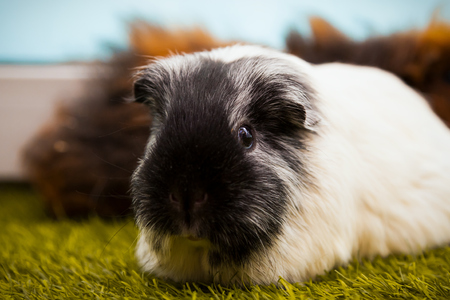 close-up of a small black and white guinea pig  or Cavia porcellus with black eyes on a green artificial grass
