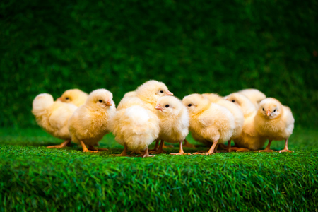 Close-up of a lot of small yellow chicks or Gallus gallus with black eyes on the artificial grass in the room sits