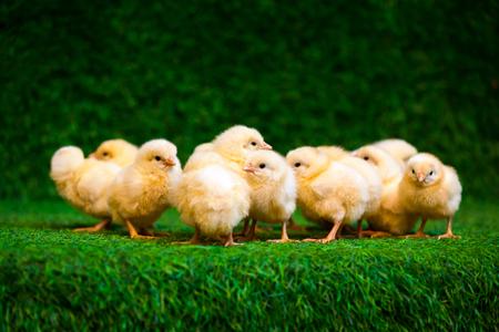 Il primo piano di molti piccoli pulcini gialli o gallus gallus con gli occhi neri sull'erba artificiale nella stanza si siede