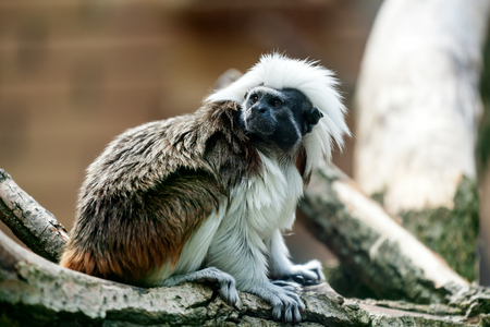A close-up of a  monkey or pileted gibbon is sitting on a tree  on a warm summer day Stock Photo