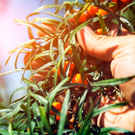 Close up man holds in hands branch of orange sea buckthorn berries with berries of sea buckthorn and green leaves