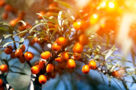 Close up branch of orange sea buckthorn berries with berries of sea buckthorn and green leaves