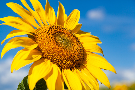 A bright yellow sunflower stands in a field of sunflowers, a field of sunflowers in a summer sunny day, a blurred background of sunflowers Stock Photo