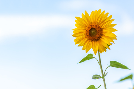 A close-up of one young bright yellow sunflower on a  bly sky Stock Photo