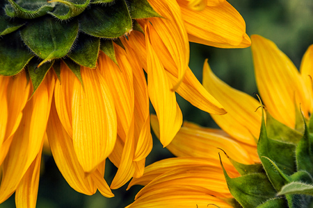 A close-up of one young bright yellow sunflower in a warm sunny day, the background is blurred Stock Photo