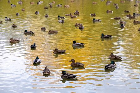 A large flock of brown folded wings and calmly swims in the pond. Peaceful picture with birds Standard-Bild - 130957004