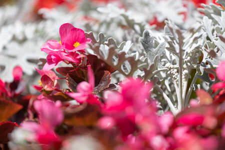 Close-up of a beautiful flower bed with white, red and pink flowers Фото со стока