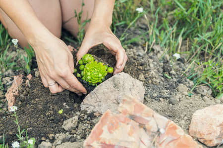 Planting a plant in the ground. A young woman plants a succulent flower in the ground in a flower bed. 스톡 콘텐츠