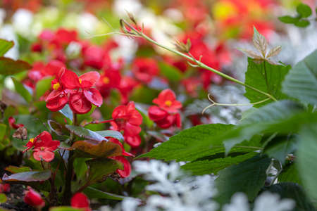 Close-up of a beautiful flower bed with white and red alissum flowers