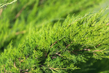 CLose up of the bright green young coniferous branches on a green blurred background, soft focus