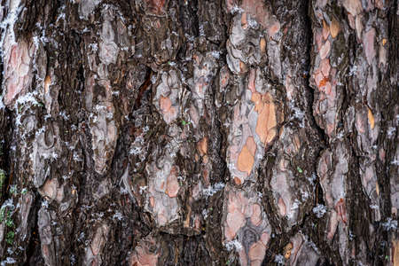 wood texture. close up brown pine wooden background. Details on the surface of the bark of an adult pine