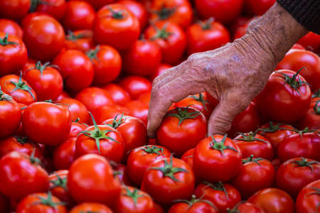 Close-up of an elderly man picking tomatoes at the market. Fresh Tomatoes variety grown in the shop. Tomatoes for salad, entree and soup Archivio Fotografico