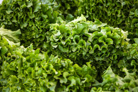 Close-up of a green plant for a background, green salad texture or background. Green leaves form a natural shape. Fresh raw lettuce from the garden