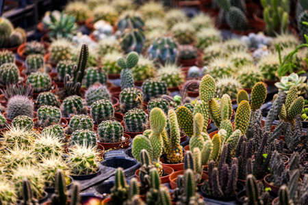 Rows of different cacti, small and large, with needles in pots and mugs in a shop window Stock fotó