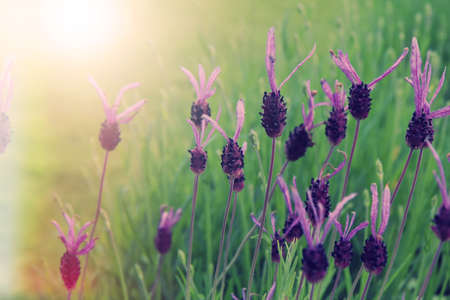 Field of purple lavender flowers vintage style Stock Photo