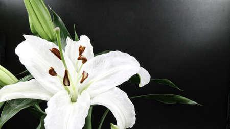 黒い背景に白いユリの花