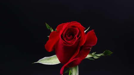 黒の背景にかなり暗い赤いバラ