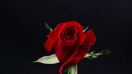 Pretty Dark red rose on black background