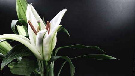 White lily flower blooming on black background 版權商用圖片